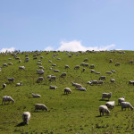 Овцы на лугу