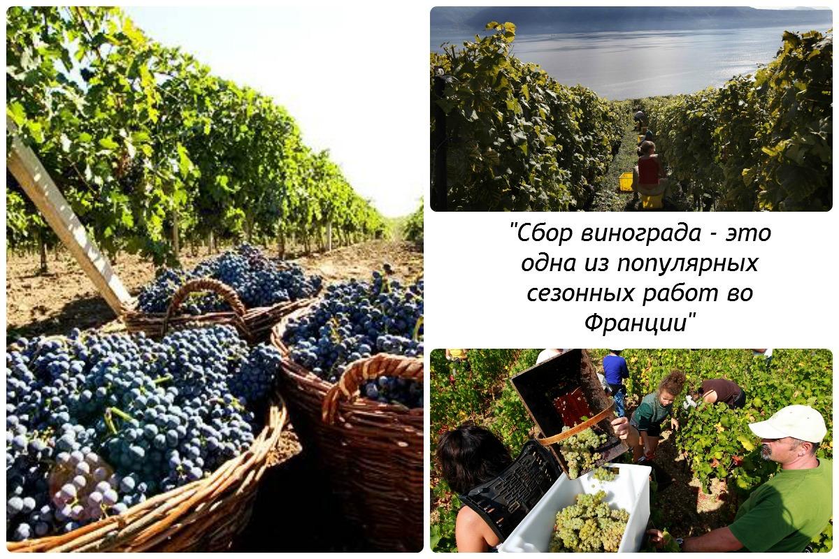 Вакансия виноград словакия италия обучение бесплатное в москве