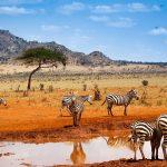 Зебры в пустыне